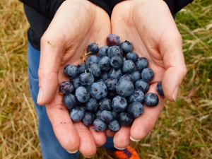 Handfuls of blueberry goodness.